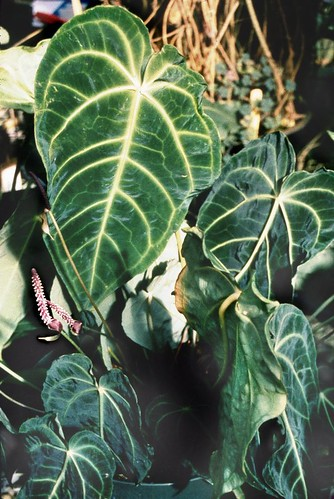 Anthurium besseae_croat