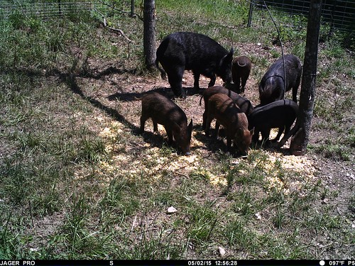 feral hogs at feeder