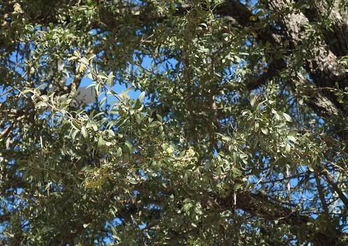 Pyrus spinosa - poirier à feuilles d'amandier 30892223252_300b134001