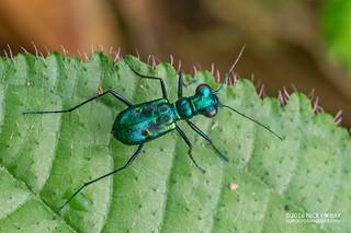 Tiger beetle (Cylindera versicolor) - DSC_2503