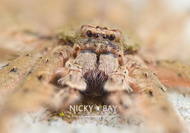 Huntsman Spider (Pandercetes sp.) - DSC_1757