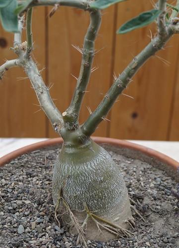 Pachypodium succulentum 17283413244_31c12bbf4d