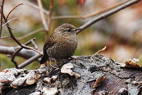 Mill Pond, NY: Winter Wren