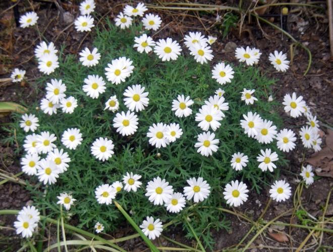 Argyranthemum frutescens 8758103988_2b0dd1e804_o
