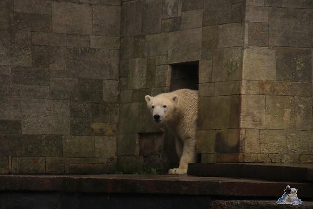 Eisbär Fiete im Zoo Rostock 05.11.2016 042