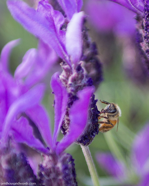 Bees enjoying lavender 09