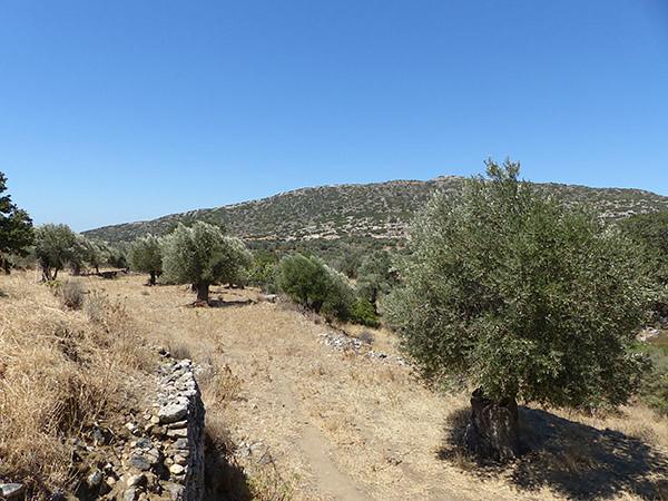 oliviers autour de la chapelle de Drosiani