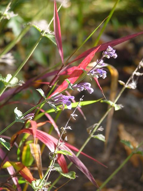 Nepeta racemosa 'Walker's Low' & Hystrix patula