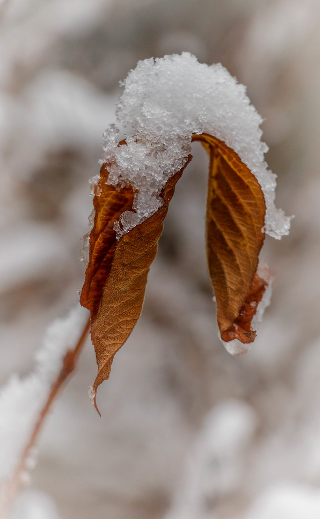 snowy fall leaf