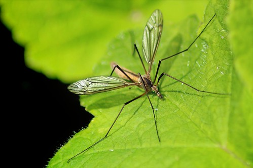 Crane Fly / Daddy Long Legs | by Adele Claire