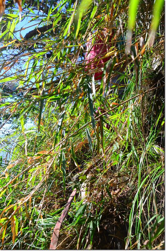 密箭竹、芒草陡下區