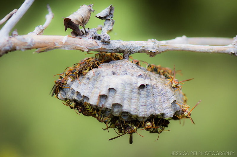Arbor Hills Wasp Nest
