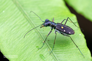 Tiger beetle (Cylindera (Leptinomera) sp.) - DSC_2442