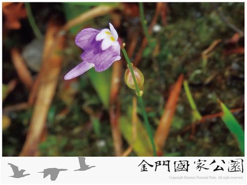斜果狸藻-02