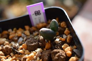 DSC_4536 Ornithogalum unifoliatum オルニソガルム ユニフォリアツム Albuca unifolia