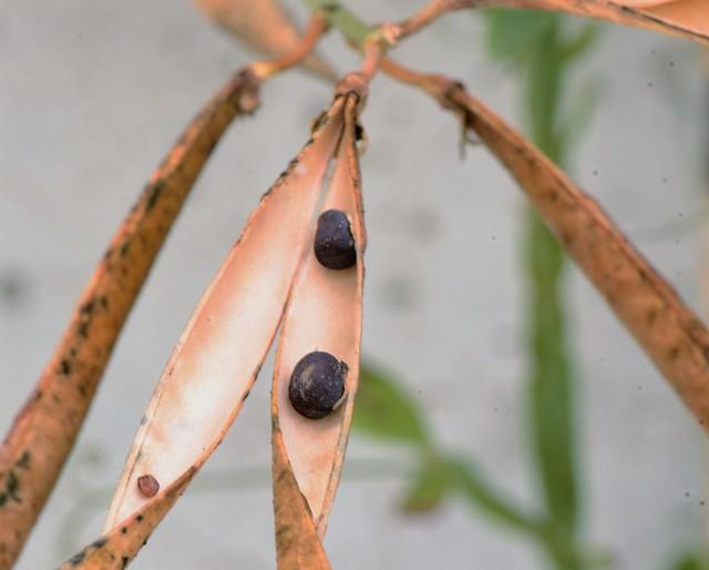 Sweet Pea Seeds 2010 (5)