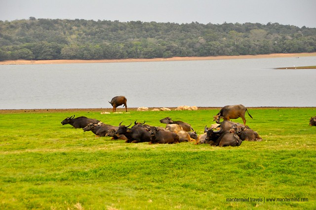 Herd of Water Buffalos at Minneriya National Park