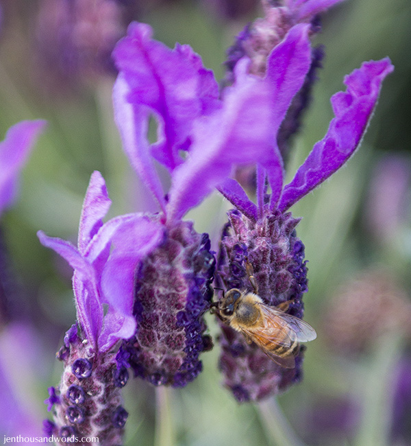 Bees enjoying lavender 02