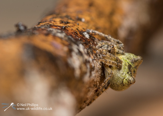 Gibbaranea gibbosa orb waver spider-5
