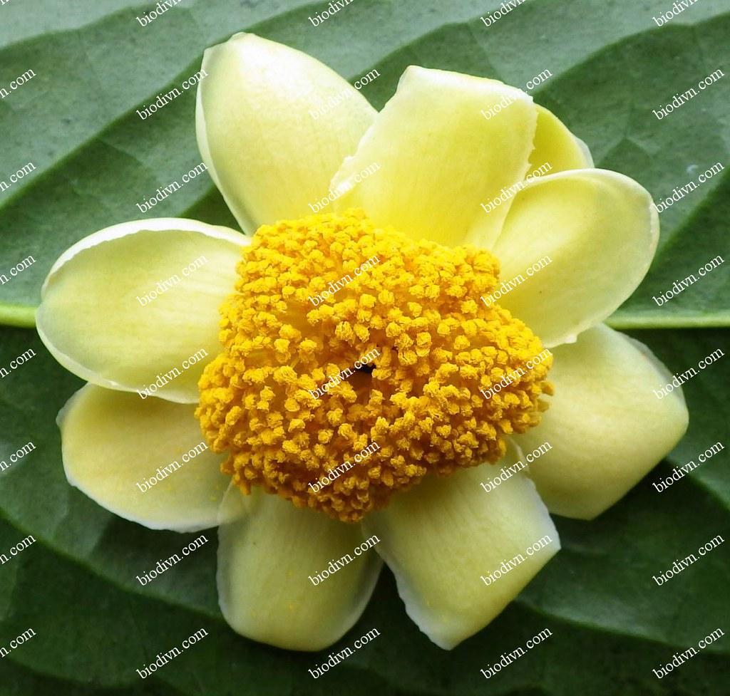 Camellia-thuongiana_9