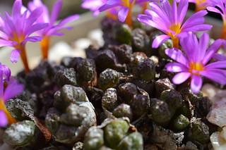 004 Conophytum luckhoffii  コノフィツム ルックホフィー