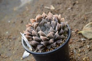 DSC_4341 Haworthia cooperi var. pilifera  ハオルチア クーペリー ピリフェラ