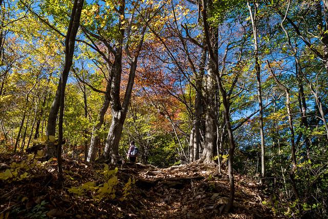 鞘口峠よりブナの路を登り三頭山を目指す