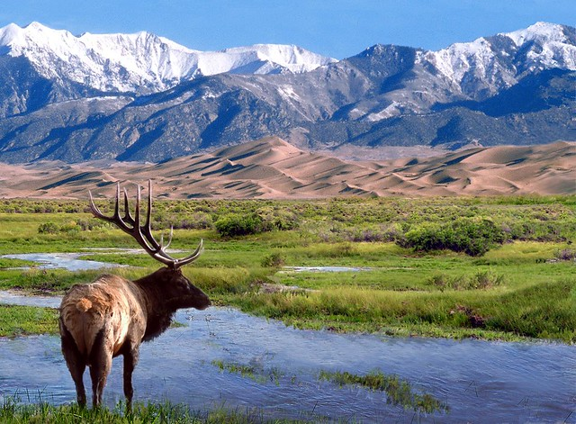 photo of an Elk, Great Sand Dunes Wilderness