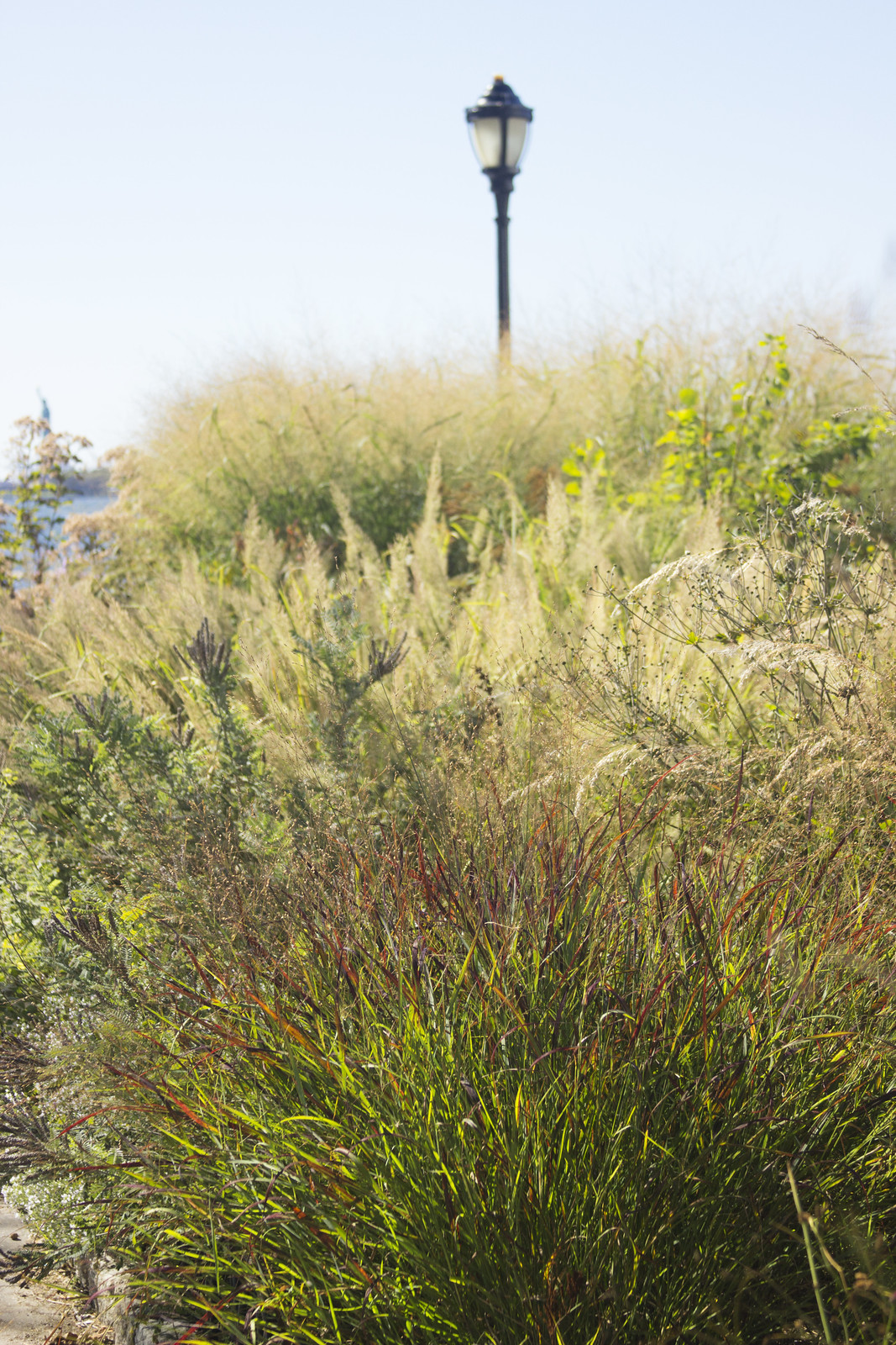 Battery Park Panicum