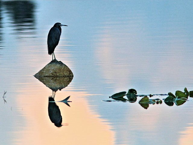 Little Blue Heron reflections ORIG 20131020
