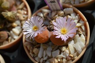 DSC_4604 Ophthalmophyllum verrucosum オフタルモフィルム ベルコーサム