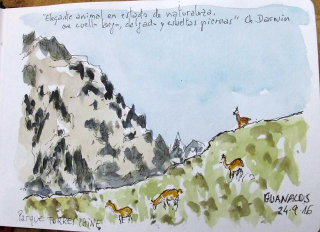 Guanacos en el Parque del Paine. Chile