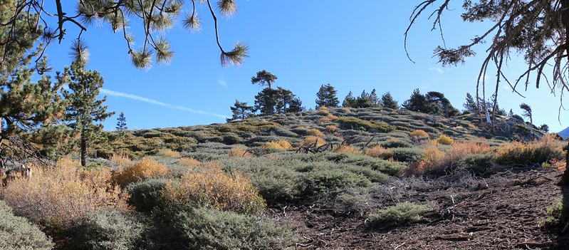 Chinquapin, buckthorn, and gooseberry bushes (turning color) from the San Bernardino Peak Trail
