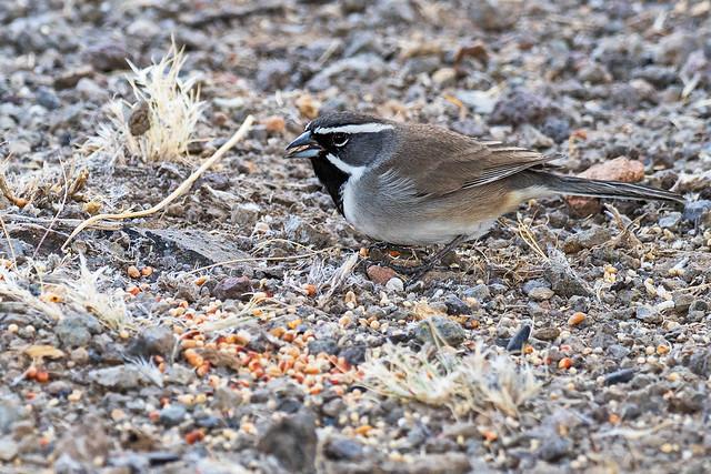 Black-throated-Sparrow-14-7D2-102816