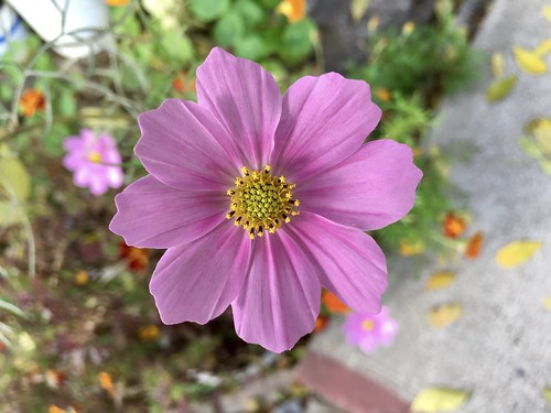 Cosmos in Fall (pink)