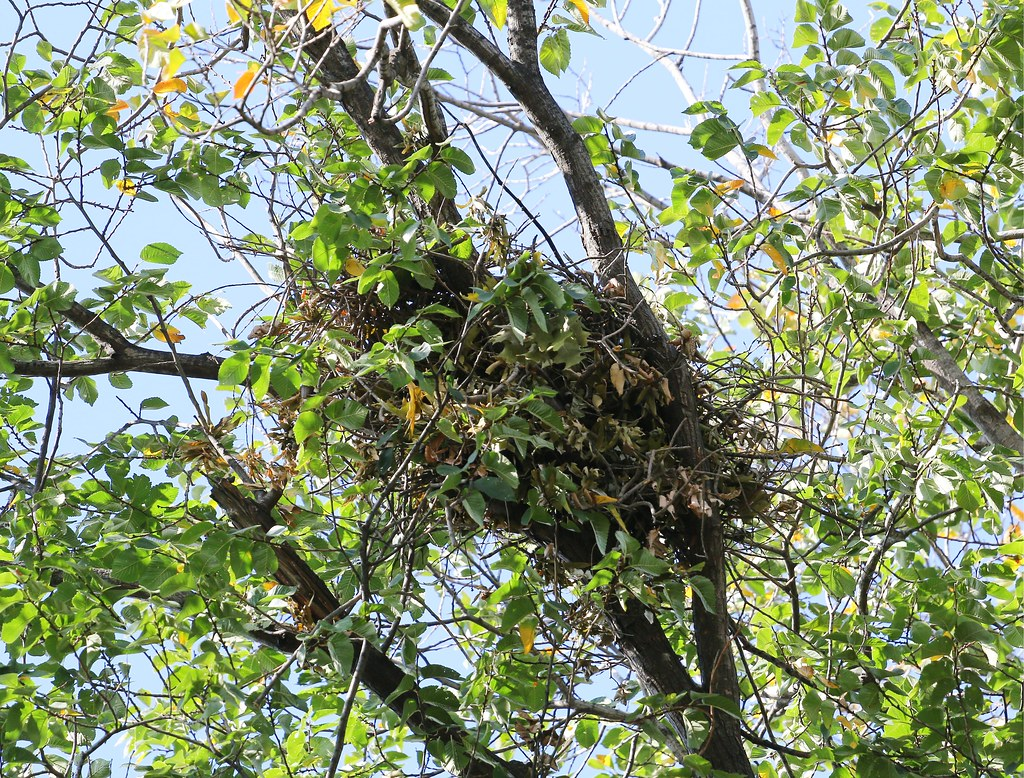Hawk nest in Tompkins Square