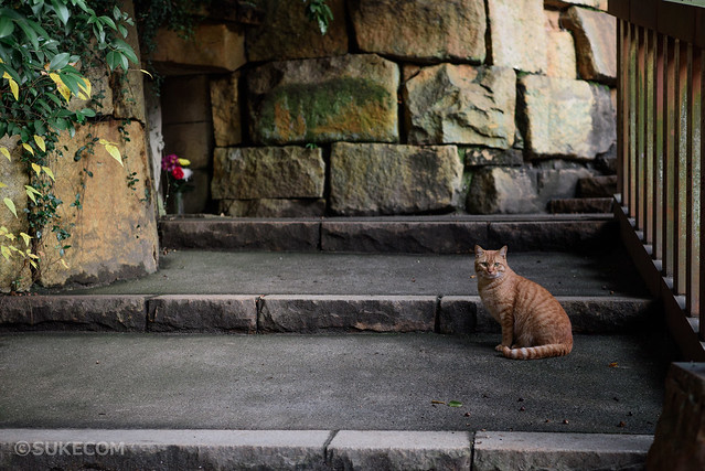 深大寺の野良猫