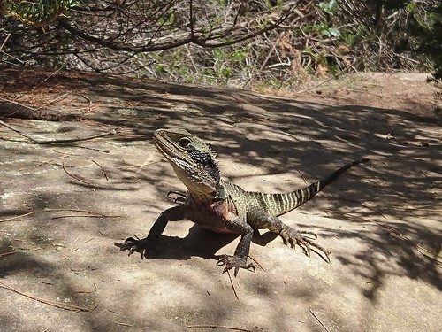 Eastern Water Dragon Lizard close up on bush walk path