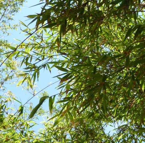 Dendrocalamus jianshuiensis 30411502564_ff13937e45_o