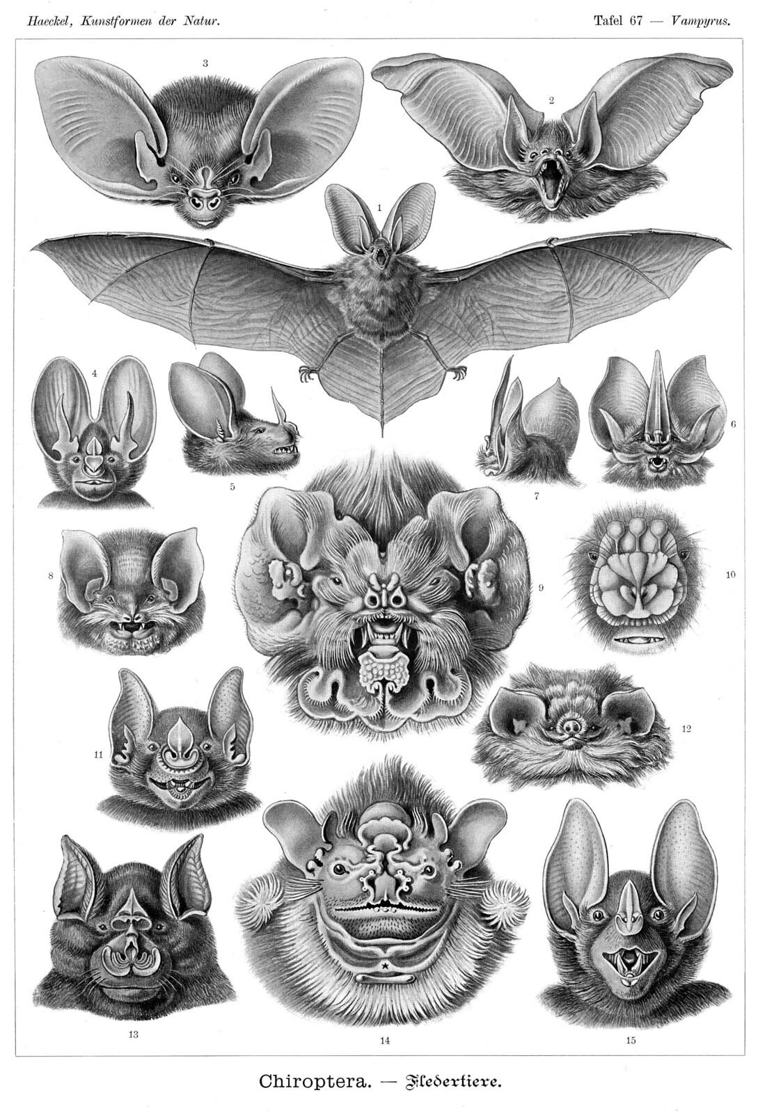 ernst haeckel s bats 1904 the public domain review. Black Bedroom Furniture Sets. Home Design Ideas