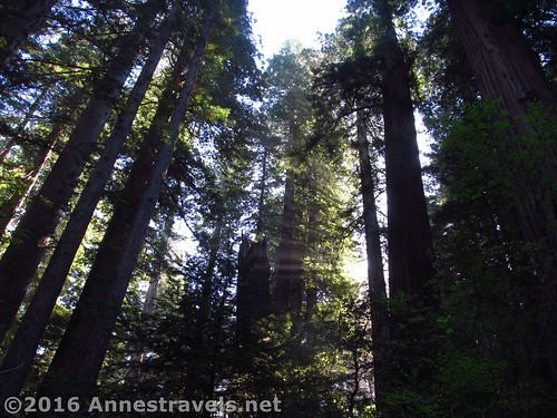 More sunlight streaming through the tall trees in the Lady Bird Johnson Grove of Redwood National Park, California