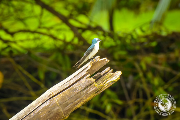 Mangrove Swallow in Sierpe