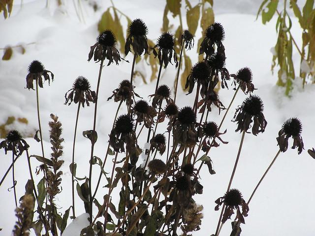 Echinacea purpurea 'Powwow Wild Berry'