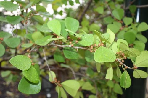 ficus_natalensis_ssp_leprieurii