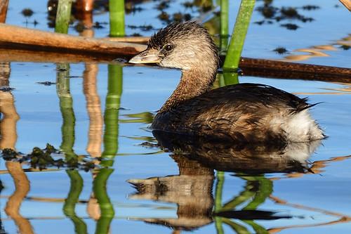 Viera Wetlands, FL: Pied-billed Grebe