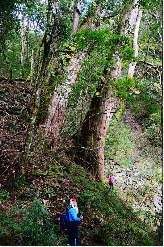雪白山登山步道旁巨木 2
