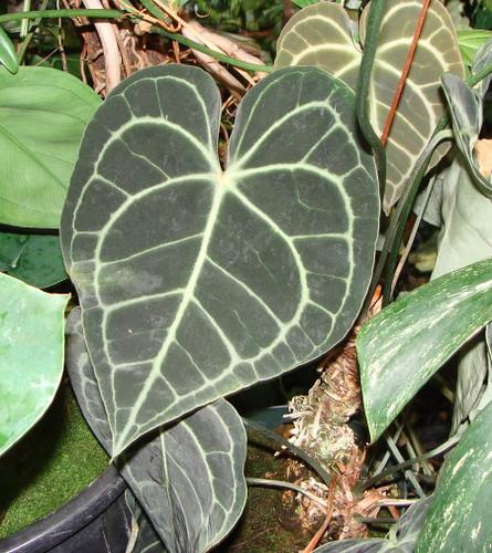 Anthurium crystallinum_crogers
