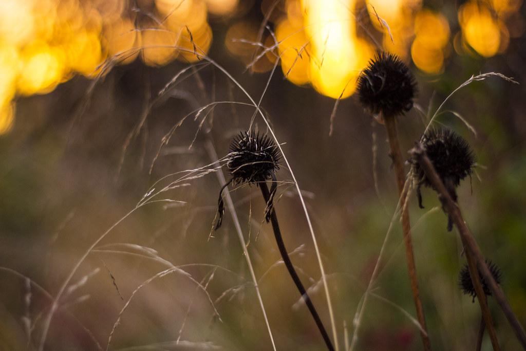 Echinacea seedhead trio 1