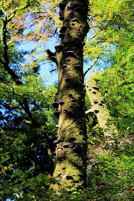 Fungi infested tree at Ardkinglas Woodland Garden, Argyll