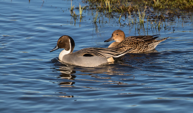 Northern Pintails 071__350